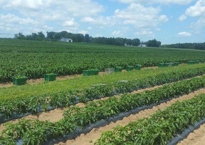 Svihel Vegetable Farm